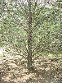 cedarwood.jpg