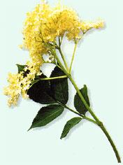 erudaflower.jpg